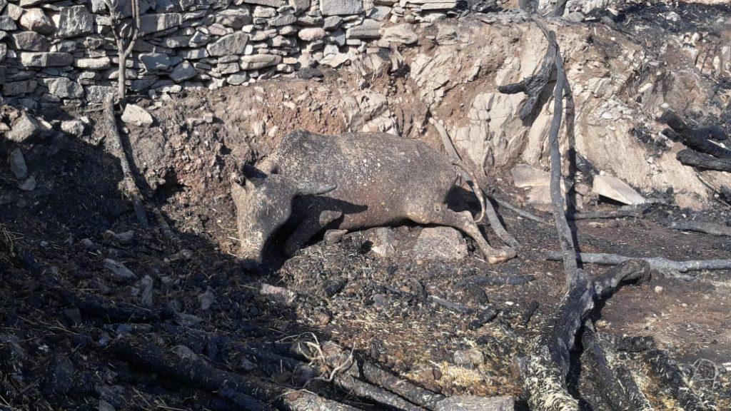 बाड़े में लगी आग से 4 गायें व 3 बछड़ों की झुलसने से मौत